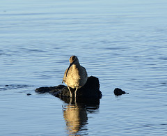 Galapagos - Fernandina Island - Wading Bird & Reflections (sweetpeapolly2012) Tags: