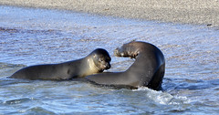 Galapagos - Fernandina Island - Sealions playing in the water (sweetpeapolly2012) Tags: