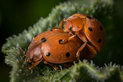 Henosepilachna angusticollis ⚤ (macropoulos) Tags: gourd ladybird animalia arthropoda insecta coleoptera polyphaga cucujiformia cucujoidea coccinelidae epilachninae henosepilachna copula mating canoneos5d canonmpe65mmf2815xmacro canonspeedlite430ex topf25 30faves30comments300views 500v20f 1000v40f angusticollis