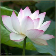 Lotus (loobyloo55) Tags: flower nature canon flora lotus sydney 7d botanicalgardens floraandfauna sydneybotanicalgardens canoneos7d thebotanicalgardenssydney