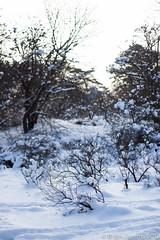 Winter light (B.Jansma) Tags: blue trees light sun snow nature netherlands beautiful forest canon lens 50mm prime licht bomen focus blauw raw dof bokeh dunes den tracks nederland natuur mooi haag bos duinen zon lense sporen 500d busythesedays