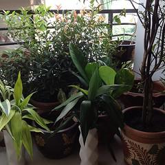 สวนหลังห้องของเราเห็นแล้วสดชื่นดีจัง... ต้นโมก,คริสติน่า,กวนอิม,ชวนชม,มธุลี,กกราชนี ฯ