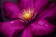 Pink Clematis~Explored! (j man ) Tags: life lighting pink friends light flower color macro art texture nature floral colors beautiful rain closeup composition lens photography droplets petals illinois drops cool colorful flickr day dof blossom pov background sony details clematis favorites center 11 depthoffield pointofview rainy sp ii views di if f2 tamron centered comments ld jman excellence a300 af60mm mygearandme flickrbronzetrophygroup