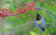 Sunbird : Hmmm  I'll start with this one . . . (Clement Tang ** Busy **) Tags: travel autumn flower nature floral hongkong inflight feeding bokeh wildlife avian newterritories sunbird birdwatcher closetonature fungyuenbutterflyreserve concordians nectannidae