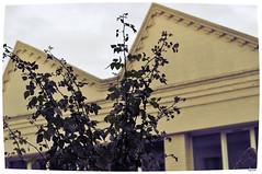 rosier (xpressx) Tags: rose 50mm nikon ciel mur feuille rosier d5000