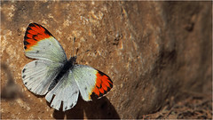 Colotis danae (Ahmet Karata - host.nigde.edu.tr/akaratash) Tags: lepidoptera ii 600 oman pieridae dhofar umman omansultanate zufer canon600mmf4 rawri rouri colotisdanae khawrruri rurilagn