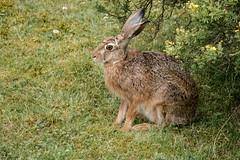 """""""Unser Hase"""" sitzt wieder einmal im Garten vor dem Haus - """"Our hare"""" sitting again, after a long absence, in our garden (riesebusch) Tags: berlin garten marzahn"""