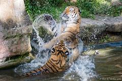 Sibirischer Tiger / Sibirian Tiger (Doris & Michael S.) Tags: tamronaf70300mm tiergarten tiergartennrnberg tiger tiere sonyilcaalpha77ii animals sonyilca77m2 tigre zoo zoonrnberg