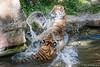 Sibirischer Tiger / Sibirian Tiger (Doris & Michael S.) Tags: tamronaf70300mm tiergarten tiergartennürnberg tiger tiere sonyilcaalpha77ii animals sonyilca77m2 tigre zoo zoonürnberg ζωολογικόσκήποσ τίγρησ зоопарк тигр 动物园 虎