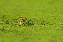 Watching (PhillymanPete) Tags: summer macro algae weed nature water amphibian frog green palmyracovenaturepark bullfrog duckweed animal palmyra newjersey unitedstates us nikon d7200 watching