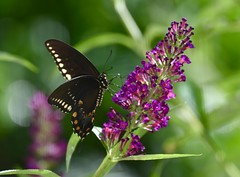 Lunch with a view! (ineedathis,The older I get the more fun I have....) Tags:   lepidoptera americanswallowtail papiliopolyxenes butterflybush buddleia garden summer bokeh purple black yellow green nikond750 flowers nature flower plant butterfly
