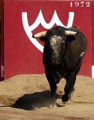 magnificos novillos (aficion2012) Tags: ceret 2016 novillada corrida toros bulls bull fight novillos france francia d mario y hros de manuel vinhas torero matador novillero hierro santa coloma buendia