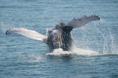 UNK.MN.CRESLI.2016-08-28-03 (ah_kopelman) Tags: unkmncresli2016082803 cresli megapteranovaeangliae montaukny montaukwhalewatch2016 vikingfleet humpbackwhale exif:isospeed=400 geocountry exif:make=nikoncorporation geocity geostate geolocation exif:focallength=400mm geo:lon=71885176666667 exif:model=nikond600 geo:lat=41011705 camera:model=nikond600 exif:aperture=ƒ56 camera:make=nikoncorporation