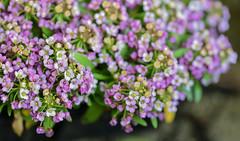 teeny tiny bubbles (Dotsy McCurly) Tags: teeny tiny bubbles water drop droplets lavender flowers alyssum nature beautiful dof bokeh nikon d750 nj closeup macro
