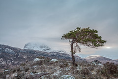 The Survivor (macdad1948) Tags: scotland gairloch westerross lochmaree slioch pine tree dawn winter