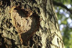 All you need is love (MeghanElizabethMurphy) Tags: nature carve heart canon bark