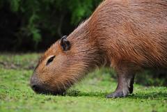 Parque Nacional El Palmar - Carpincho (Javier N. Martnez R.) Tags: entreros entrerios elpalmar parquenacional argentina capybara carpincho