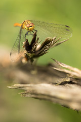 Can I have a word please ? (regisfiacre) Tags: libellule dragonfly libelle libellula anisoptere odonate odonata ruddy darter female femelle insecte insect bugs yellow jaune speech discours bokeh woods bois forest fort nature macro canon 100mm france moselle