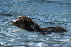 IMG_9365 (kris10pix) Tags: dogpaddle2016 dogs puppies puppy splash pool fetch dog wisconsin capitolk9s mutts purebreed leap madisonwi goodmanspool wetdog summer