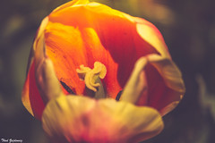 Dreamy tulip (Thad Zajdowicz) Tags: impressionism color red yellow flower tulip flora brooksidegardens wheaton maryland zajdowicz 366 365 canon eos 7d dslr digital availablelight lightroom bokeh depthoffield art dreamy outdoor outside petals light dark shadow montgomerycounty blur softfocus dof ef70200mmf4lisusm