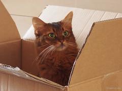 One more of Caithlin (Finn Frode (DK)) Tags: cats box cardboardbox look eye caithlin dusharacathalcaithlin somali somalicat som olympus omdem5 denmark animal pet cat indoor