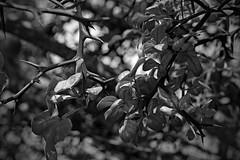 Maximum Sharpness (ertolima) Tags: thorns tree thorny sharp orange trifoliate hardy citrus