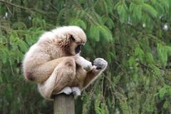 Singe (Franois_B.) Tags: singe zoo hauteur pentax ks2 sigma 70300