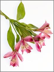 20160924_4011AC (willcsw) Tags: astromeria flower pink stilllife
