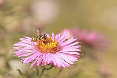 Syrphe / Flower Fly (alain.maire) Tags: diptera diptre syrphidae syrphe flowerfly hoverfly sericomyiachrysotoxoides sericomyia nature quebec canada