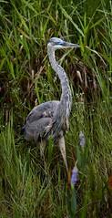 Aug 31 201610936 (Lake Worth) Tags: animal animals bird birdwatcher birds canonef500mmf4lisiiusm canoneos1dxmarkii everglades feathers florida nature outdoor southflorida waterbirds wetlands wildlife wing