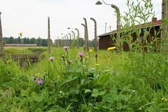 Auschwitz (atsjebosma) Tags: auschwitz poland polen concentrationcamp secondworldwar bloemen 19401945 atsjebosma barakken barracks prikkeldraad barbedwire nature natuur