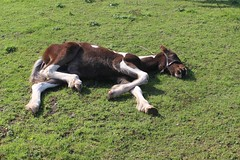 Resting Foal (Wildlife Terry) Tags: warm hot heat domesticated animals hottestseptember 2016 towpath trentandmerseycanal thesaltline foal sandbach cheshire borrowpitmeadows
