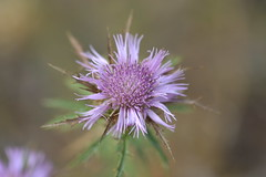 Atractylis humilis (esta_ahi) Tags: canbarcel flora plantas silvestres atractylis humilis atractylishumilis cardoheredero flor flores pink santmartsarroca peneds barcelona spain espaa