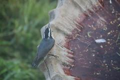 Red-breasted Nuthatch (Saline, Michigan) (cseeman) Tags: feeders suet birds saline michigan nuthatch redbreastednuthatch