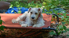 Sleepy Dawg (BKHagar *Kim*) Tags: bkhagar angel dog dawg canine pup puppy pet schnauzer terrier white outdoor hammock yard inexplore explore