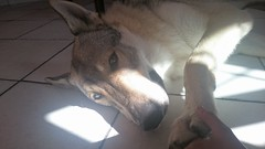 Amore a prima vista! (xaly87x) Tags: dog wolf wolfdog czechoslovakianwolfdog tenderness cuddles