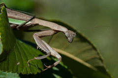 The last thing small insects see (martytdx) Tags: crosswickscreekgreenway nj oceancounty plumsteadtownship september insects mantids mantis prayingmantis chinesemantis tenoderasinensis