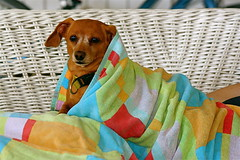 IMG_1007 (virginiascottphotos) Tags: dogs pets dachshund warmth summer comfort love