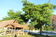 Albizia lebbek tree (J. B. Friday) Tags: rota albizia albizialebbek fabaceae
