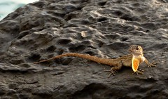 Look what I can do (Marian Pollock (Weiler)) Tags: hawaii maui sunshine gecko reptile showingoff rock