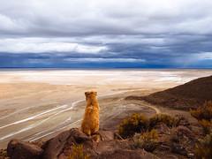 Dog watching over dead sault desert / Hund wacht über tote sault Wüste