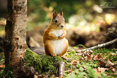 Squirrel in the woods (ajastaika) Tags: squirrel animal animals nature luonto inthewoods metsss mets orava oravat outdoors forrest luontokuva