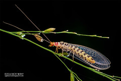 Scarlet lacewing (Italochrysa japonica) - DSC_1526 (nickybay) Tags: singapore tampinesecogreen macro chrysopidae scarlet lacewing italochrysa japonica backlighting