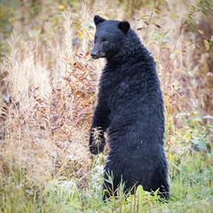 Black Bear Standing (Loren Mooney) Tags: bear wildlife stewart blackbear mammal outdoors canada nature britishcolumbia wilderness animal bc bearsursidae
