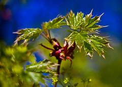Mapple leaves (kud4ipad) Tags: 2015   kiev maple leaf spring bokeh