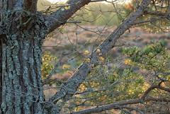Scots Pine (Stephen_Hartley) Tags: heather pine scotspine scotland scottishhighlands sunrise cairngormsnationalpark tree moss lichen