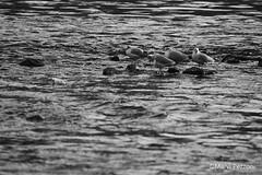 Seagulls (MarviMPZ) Tags: uccelli birds acqua water fiume river po torino turin bnw biancoenero marvipezzoni