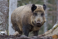 Sus scrofa (Pasquale Sannino) Tags: sus scrofa cinghiale germany wild boar germania bayerischer wald bayerischerwald