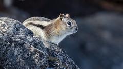 surveying her domain (the_green_squirrel) Tags: banff alberta canada fauna chipmunk lakeminnewanka mammal improvementdistrictno9 ca