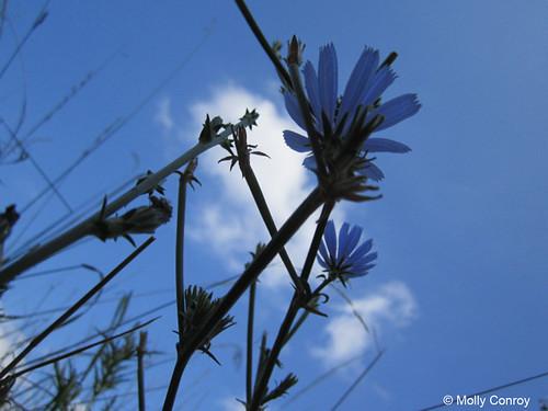 Photo - Chicory Flowers